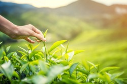 Women Hand finger picking up  tea leaves at a tea plantation for product , Natural selected , Fresh tea leaves in tea farm in Cameron Highlands, Malaysia