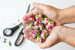 Women hands holding cut-off redrose blossoms with scissors on grey background. Selective focus on blossoms. Concept of broken relations and making peace with past.