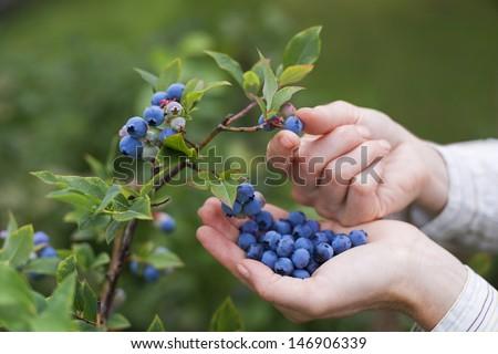 Women picking ripe blueberries close up shoot