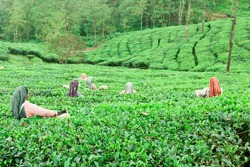 women plucking tender tea leaves.Tea estate. Tea plucking. women at work in a tea plantation in Munnar Kerala India. color greenery 2017