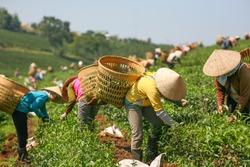 Women with conic hat are harvesting tea leaf in Bao Loc, Vietnam