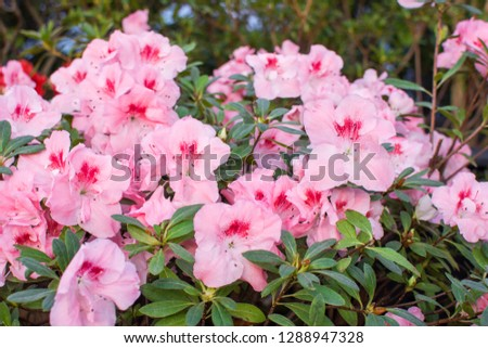 Wonderful blooming azalea flower garden, beautiful red, pink and white azalea flower bush. #1288947328