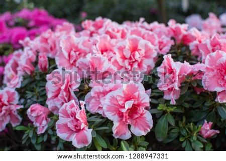 Wonderful blooming azalea flower garden, beautiful red, pink and white azalea flower bush. #1288947331