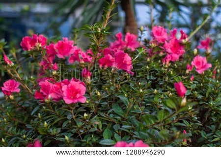 Wonderful blooming azalea flower garden, beautiful red, pink azalea flower bush. #1288946290