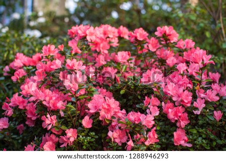 Wonderful blooming azalea flower garden, beautiful red, pink azalea flower bush. #1288946293