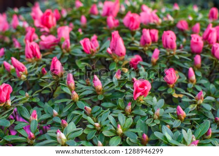 Wonderful blooming azalea flower garden, beautiful red, pink azalea flower bush. #1288946299