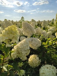 Wonderful blooming white Hydrangea arborescens, commonly known as smooth hydrangea, wild hydrangea in a garden. Closeup of White Hydrangea Flowers in Afternoon Sunlight.