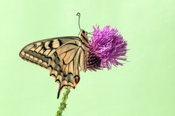 Wonderful butterfly Papilio machaon   on a summer day on a forest flower in a forest glade