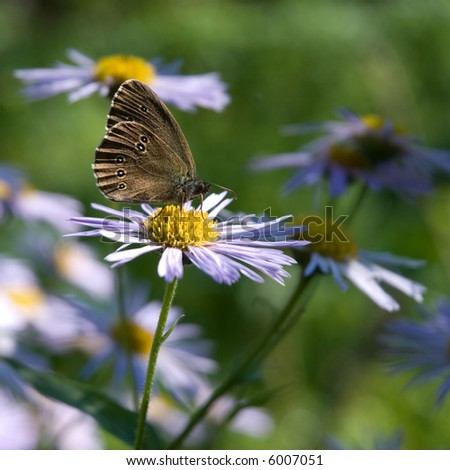 Wonderful butterfly sitting on a blue camomile