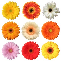 Wonderful colorful Gerberas (Asteraceae) isolated on white background.