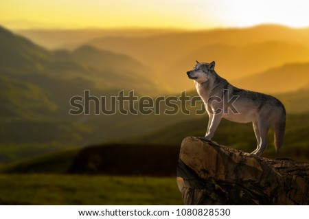 Wonderful detail in nature. The portrait of a large wolf up close. The big wolf stands on the rock and watches the environment. Beautiful sunset and yellow sky in the background.