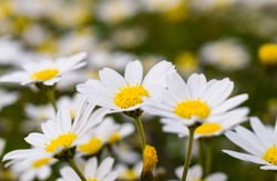 Wonderful fabulous daisies on a meadow in summer. White daisies.