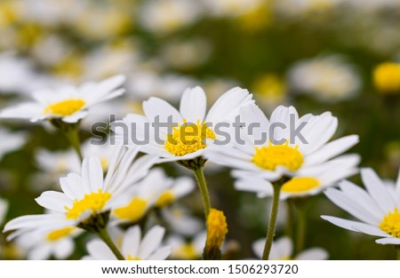 Wonderful fabulous daisies on a meadow in summer. White daisies. Stock foto ©