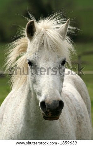 Wonderful grey welsh childs mountain pony, the best frien anyone could wish for - stock photo
