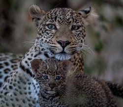 Wonderful leopard family mother with a spotted baby