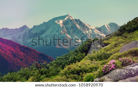 Wonderful Mountains Landscape at summer day. Fresh, pink flowers Rhododendron on valley and Snowcovered Rocky Mountains on Background. Amazing Picturesque Scene. Awesome Nature Background.