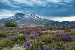 Wonderful Mt Saint Helens panorama view with wildflowers in summer time.