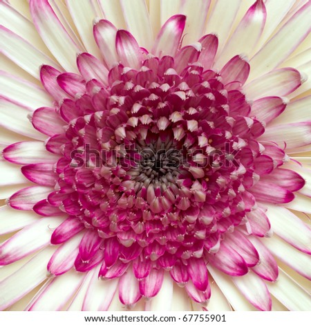 wonderful pale white and voilet Gerber daisy closeup