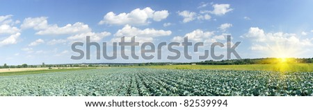 Wonderful panoramic  plantation of green cabbage.