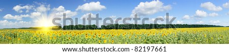 Wonderful  panoramic view  field of sunflowers by summertime.