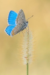 Wonderful portrait of Common Blue butterfly (polyommatus icarus)