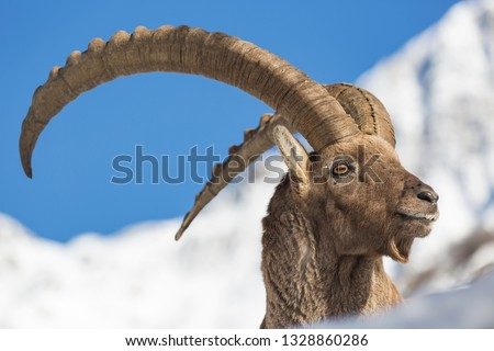 Wonderful portrait of Ibex mountain in the Alps (Capra ibex) #1328860286