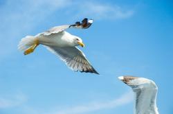 wonderful seagull in aegean sea