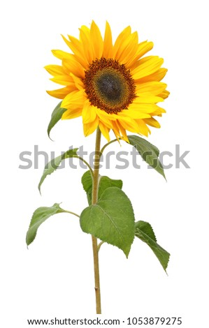 Wonderful Sunflower (Helianthus annuus, Asteraceae) isolated on white background. #1053879275