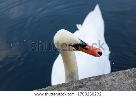 Wonderful Swan at a Lake