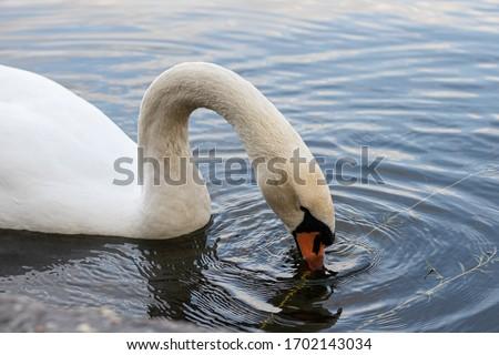 Wonderful Swan at Lake (Berlin)