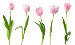 Wonderful Tulips (Lily family, Liliaceae) isolated on white background, including clipping path. Germany