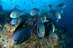 Wonderful underwater marine scenery wide angle photos, these coral reef are in healthy condition. The diversity is amazing and the marine life is abundant. The tropical waters of Indonesia.