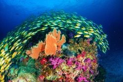 Wonderful underwater world with beautifully schooling fish and vibrant colors of corals.