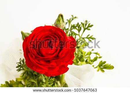 Wonderful,vivid red color peony flower on the white background with copy space.Eight March World Women's day or any special day to celebrate.Close up taken Stock fotó ©