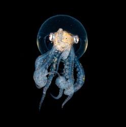 Wonderpus Octopus Blackwater Diving Underwater Photo