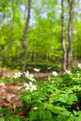 Wood anemone in a spring woodland