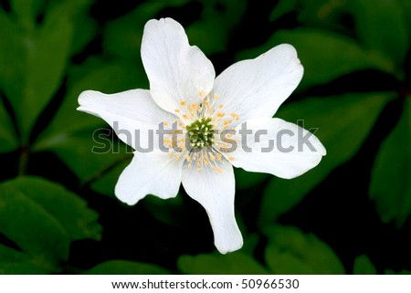 Wood anemone in the woods