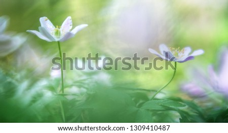 Wood anemone nemerosa, a macro of a spring forest wild flower. catchiing the first sun light. Soft focus with nice bokeh in background.