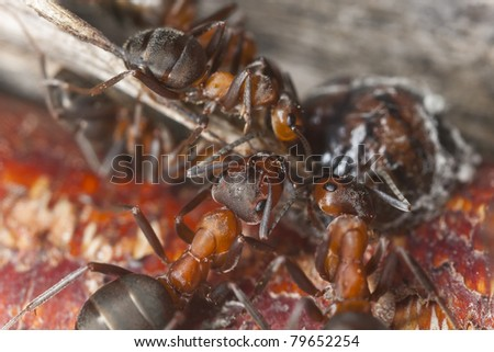 Wood ants, Formica dragging dead insect