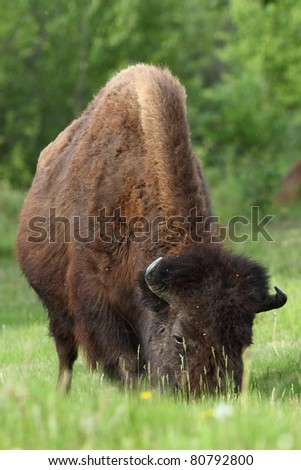 Wood Bison (Bison bison athabascae) from northern British Columbia Canada
