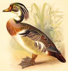 Wood Duck (Aix sponsa) / vintage illustration from Meyers Konversations-Lexikon 1897