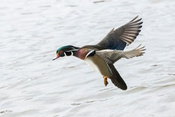 Wood duck drake in flight