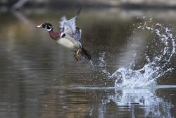 Wood duck drake take off