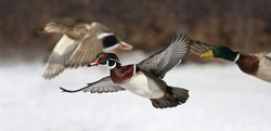 Wood duck male Aix sponsa taking flight with mallard and drake ducks in winter in Ottawa, Canada