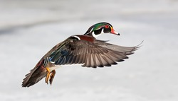 Wood duck male isolated on white background taking flight in winter in Ottawa, Canada