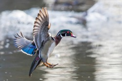 Wood duck male landing on the lake
