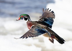 Wood duck male taking flight over the winter snow in Ottawa, Canada