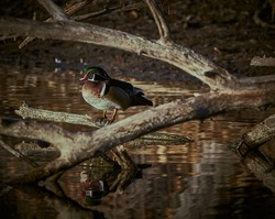 Wood duck on log with reflection