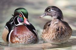 Wood duck pair on log