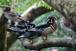 Wood duck resting on a tree branch